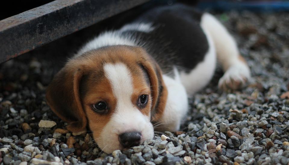 Pomsky Puppy Lovers